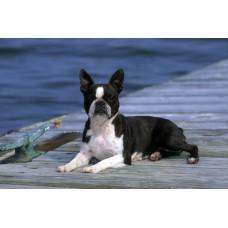 Floor Mat - Boston Terrier CE0032